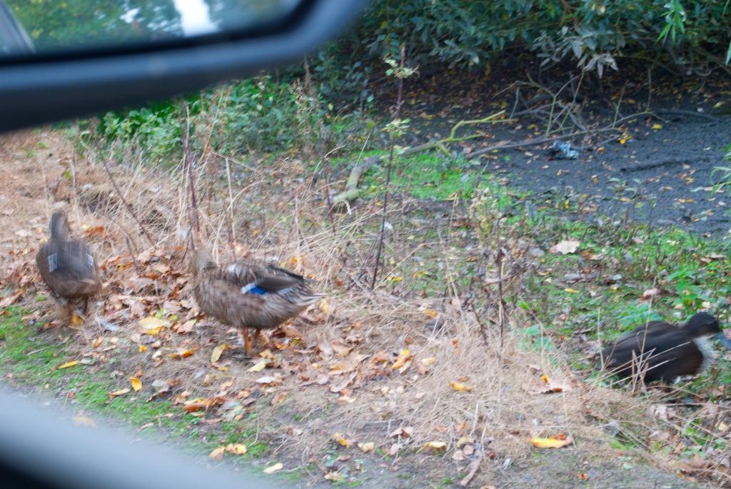 Roadside ducks by manek43509