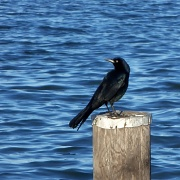 6th Oct 2011 - Crow on the Water