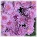 lavendar mums by mjmaven
