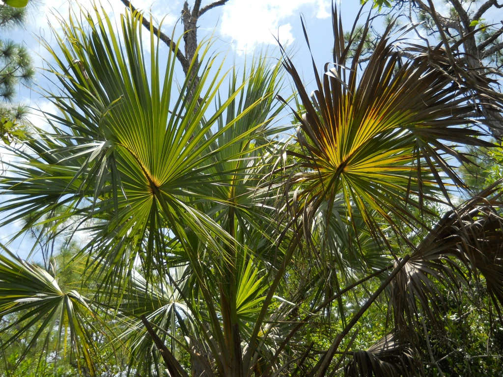Florida palm by mittens