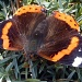 October Butterfly - An unusual visitor to our garden by phil_howcroft