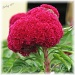 raspberry sherbet by mjmaven