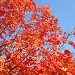 Autumn leaves, blue sky by kchuk