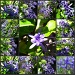 Petrea - (Sandpaper Plant) by loey5150