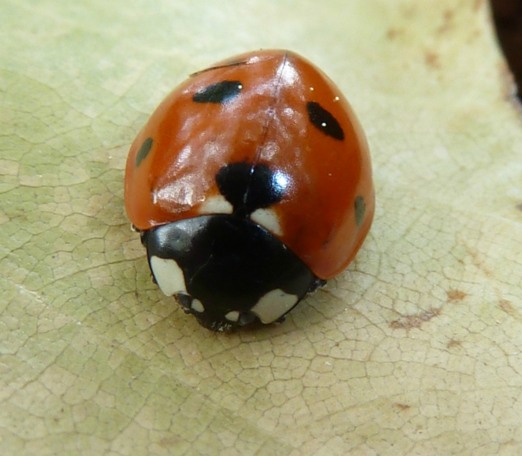 Ladybird by karendalling