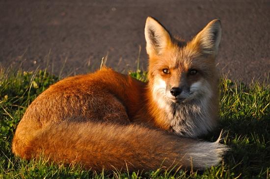 Foxy by Weezilou