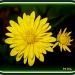 Fall Flowers by vernabeth