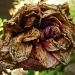 Withered Rose by phil_howcroft