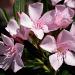 Oleander by eudora