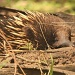 echidna - checking if the coast is clear by lbmcshutter