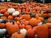13th Oct 2011 - Pump, Pump, Pumpkins