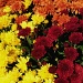 Autumn Mums by denisedaly