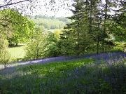 5th May 2010 - Shropshire Bluebells.