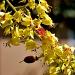 Golden Rain Tree by eudora