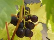 13th Oct 2011 - Grapes