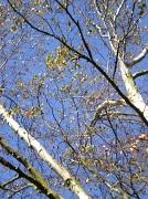 17th Oct 2011 - Silverbirch tree.