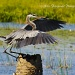 Great Blue Heron Landing-Wings by twofunlabs