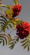 20th Oct 2011 - Rowan tree.