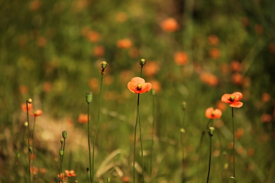 Poppies. My lawn was overgrown - I couldn't bring myself to mow this section by lbmcshutter