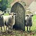 Ewe Looking At Me? by andycoleborn