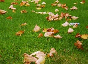 23rd Oct 2011 - When Autumn leaves begin to fall.