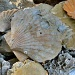 Fossil Scallop by dmariewms