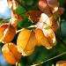 Golden Rain Tree 2 by eudora