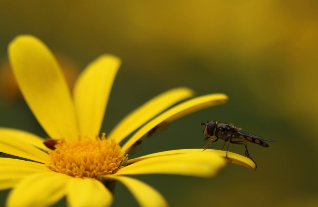 hover fly on daisy - I'd never even heard of a hover fly until I saw them on other people's shots on 365 by lbmcshutter