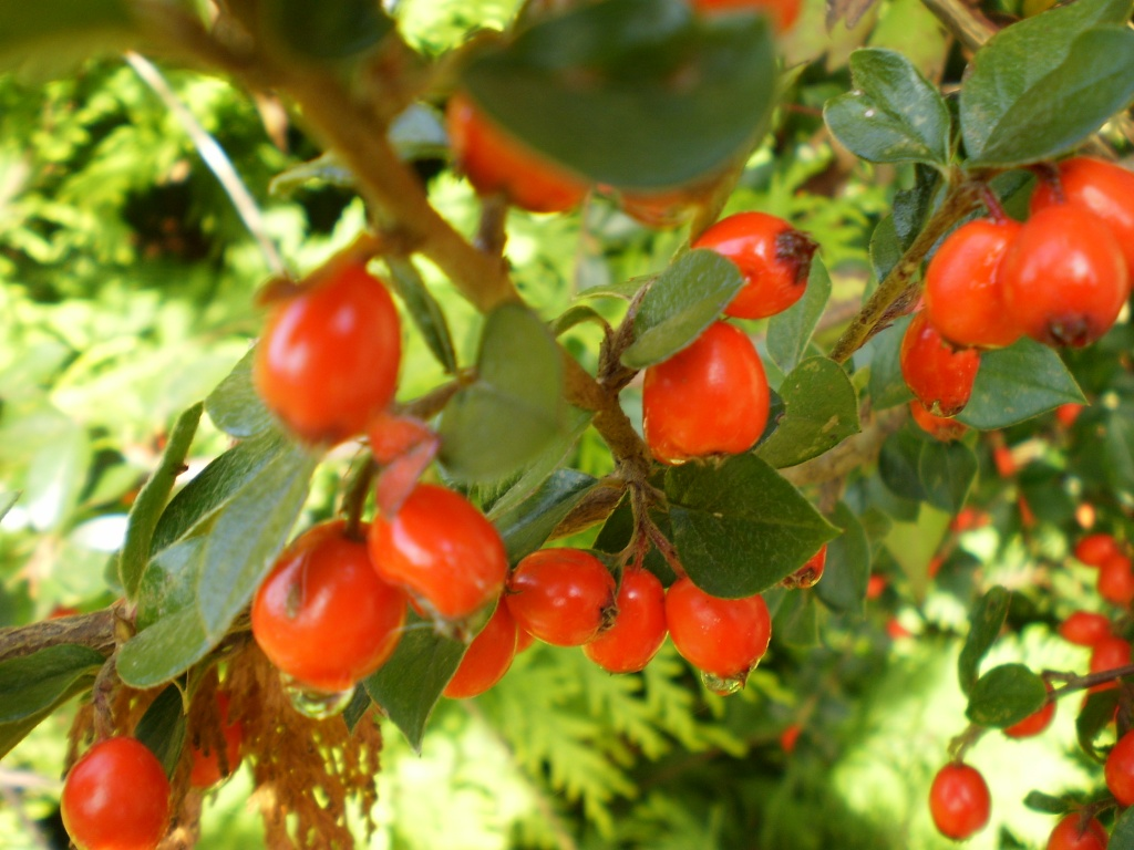 Cotoneaster. by snowy
