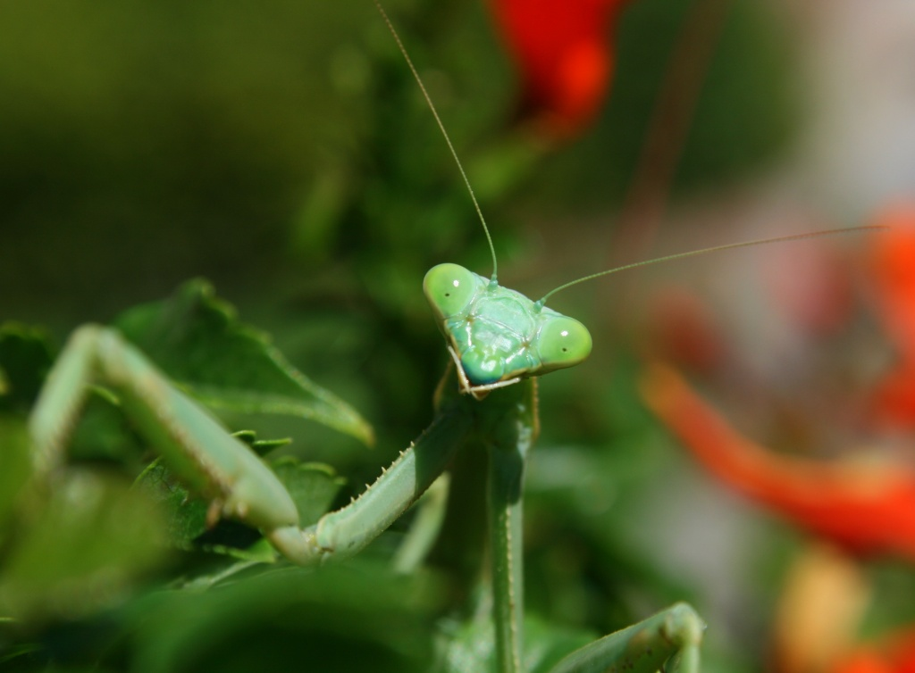 Mandy The Mantid by kerristephens