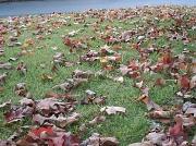 1st Nov 2011 - Leaves in Frontyard 11.1.11