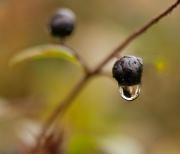 4th Nov 2011 - Berry In The Rain