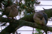 12th Apr 2010 - A pair of mourning doves