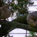 A pair of mourning doves by bruni