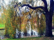 3rd Nov 2011 - Weeping willow