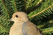 5th Nov 2011 - Mourning Dove