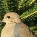 Mourning Dove by mandyj92