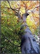 6th Nov 2011 - Autumnal tree