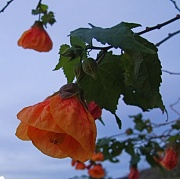 7th Nov 2011 - Flower