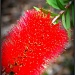 Bottle Brush by nicolecampbell