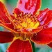 Red Flower by andycoleborn
