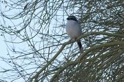 5th Nov 2011 - Loggerhead Shrike