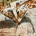 ♥ Giraffes by kerristephens