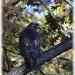 redtail hawk by mjmaven