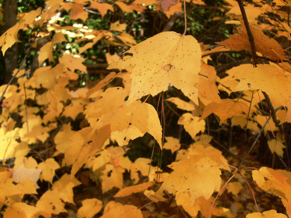 Yellow Maple Leaves 11.9.11  by sfeldphotos