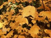 9th Nov 2011 - Yellow Maple Leaves 11.9.11