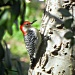 Red Bellied Woodpecker  by mej2011