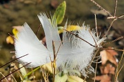 12th Nov 2011 - Feather in the Grass