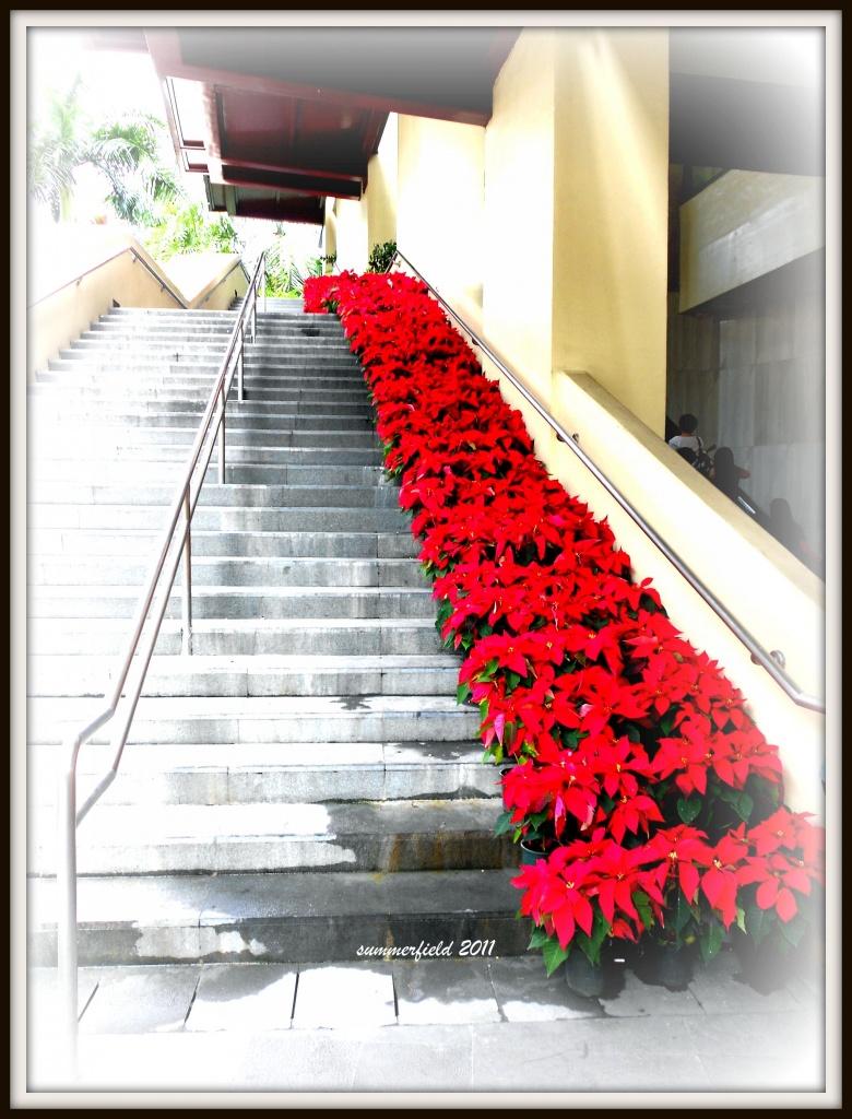 poinsettia steps by summerfield