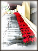 13th Nov 2011 - poinsettia steps